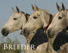 Breeder - Quality mares, fillies and all foals up to 1 year old with excellent bloodlines