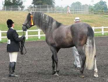 Horse Quest UK - Dressage Horses: Medium - Horsequest.co.uk